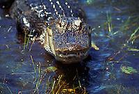 Alligator in water, Everglades National Park. Florida.