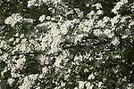 Blossom on common hawthorn tree, Crataegus monogyna, close up, Suffolk, England