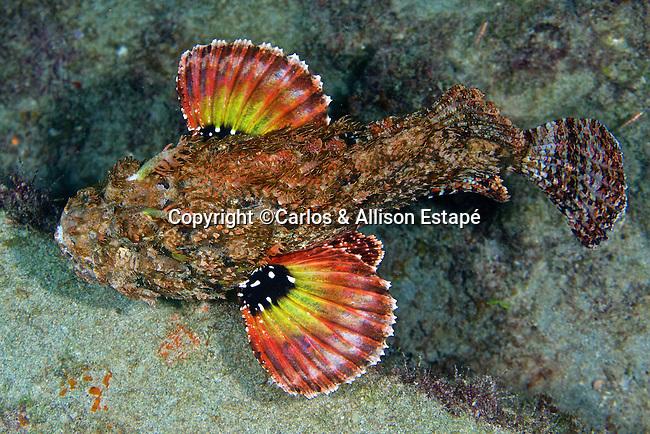 Scorpaena plumieri, Spotted scorpionfish, Gold Coast, Florida