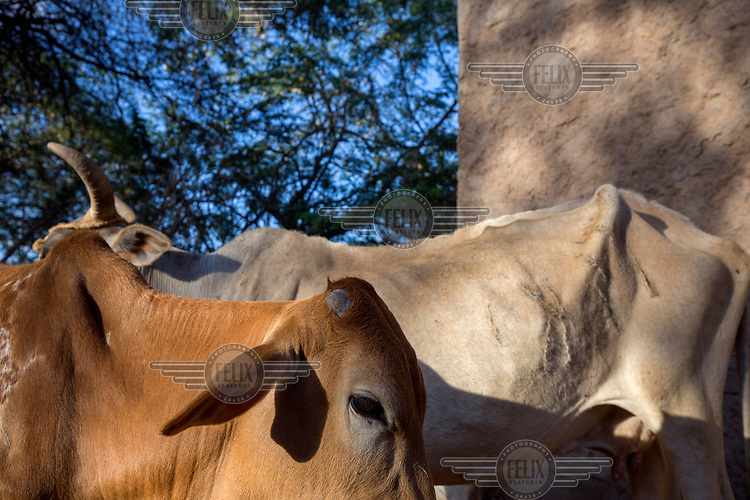 Emaciated cattle in a deplorable condition.<br /> The Horn of Africa is experiencing a devastating drought with over 11m people threatened by famine.