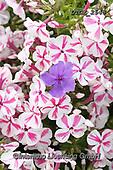 Gisela, FLOWERS, BLUMEN, FLORES, photos+++++,DTGK2548,#f#, EVERYDAY