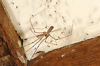 Daddy Longlegs Spider - Pholcus phalangoides
