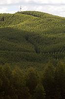Pecanha_MG, Brasil...Plantacao de eucaliptos em Pecanha, Minas Gerais...Eucalyptus plantation in Pecanha, Minas Gerais...Foto: LEO DRUMOND / NITRO