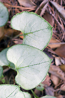 Brunnera macrophylla 'Looking Glass' Siberan bugloss shade plant, closeup of two leaves