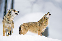 eastern wolf, timber wolf, Algonquin wolf, eastern timber wolf, Canis lupus lycaon, pair in snow, howling