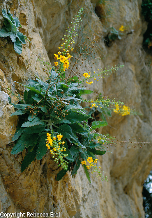 MULLEIN (VERBASCUM ARCTURUS), AN ENDEMIC WILDFLOWER, ON THE WALL OF A GORGE, CRETE