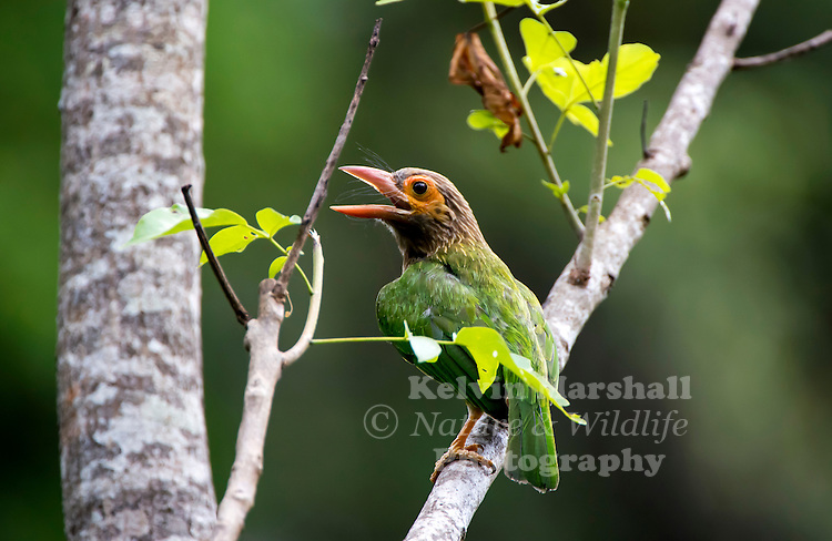 Brown-headed barbet or large green barbet (Megalaima zeylanica) is an Asian barbet. Barbets and toucans are a group of near passerine birds with a worldwide tropical distribution. The barbets get their name from the bristles which fringe their heavy bills.