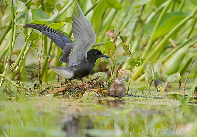 Black Tern (Chlidonias niger) adult and newly-hatched chick at nest, Perch River Wildlife Management Area, New York, USA
