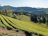 Teeplantage Dahaen Dawon bei Boseong, Provinz Jeollanam-do, Südkorea, Asien<br /> Tea plantation Dahaen Dawon near Boseong,, province Jeollanam-do, South Korea, Asia