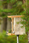 Rustic homemade bird feeder at Wildway with one black-capped chickadee.