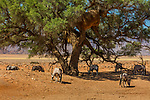 Namibia, Namib-Naukluft National Park, gemsbok (Oryx gazella), camel thorn tree (Vachellia erioloba)
