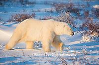 01874-13609 Polar Bear (Ursus maritimus)  Cape Churchill, Wapusk National Park, Churchill, MB
