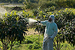 Farm worker in full protective clothing and face mask  spraying Loquat fruit trees with insecticide