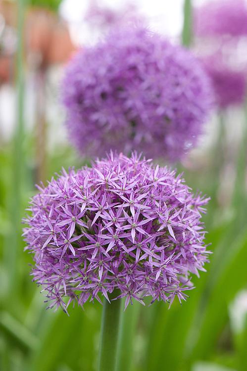 Allium 'Globe Master', mid May.