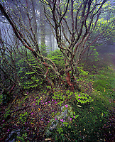 Rhododendron in fog filled forest, Roan Highlands, Tennessee and North Carolina