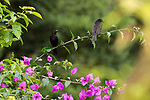 Male and female Bronzed Cowbirds, Molothrus aeneus, perched on a bougainvillea branch.  The cowbird is infamous for laying its eggs in the nests of other birds and letting those birds rear their young.  The Bronzed Cowbird ranges from the southern U.S. through Central America to Panama.  Costa Rica.