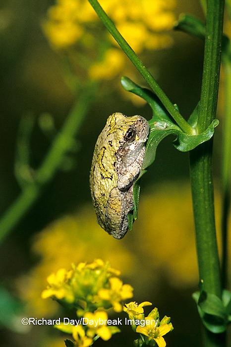 02449-003.15 Gray Treefrog (Hyla versicolor) on Common Winter Cress (Varvarea vulgaris) Stephen A. Forbes State park Marion Co. IL
