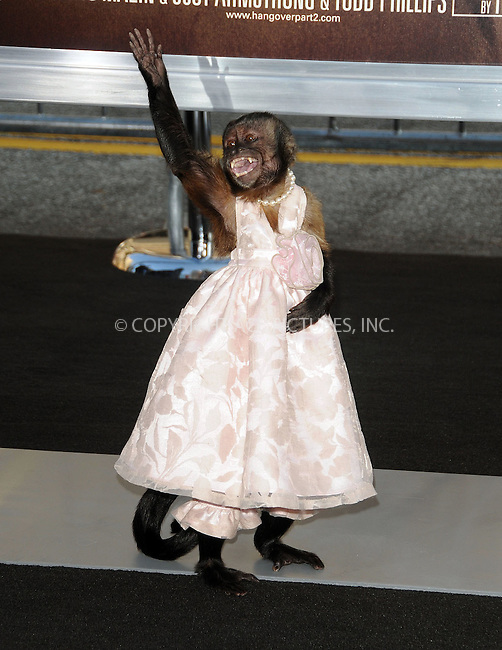 WWW.ACEPIXS.COM . . . . .  ....May 19 2011, Los Angeles....Crystal the monkey arriving at 'The Hangover II' Premiere at Grauman's Chinese Theatre on May 19, 2011 in Hollywood, California. ....Please byline: PETER WEST - ACE PICTURES.... *** ***..Ace Pictures, Inc:  ..Philip Vaughan (212) 243-8787 or (646) 679 0430..e-mail: info@acepixs.com..web: http://www.acepixs.com