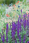Salvia n. Caradonna in the drought tolerant garden