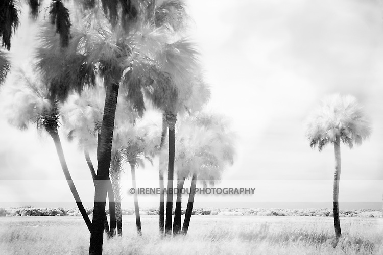 Infrared photograph of palm trees at Myakka River State Park in Florida.