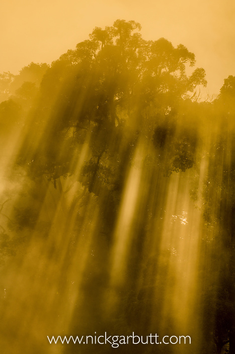 Early morning light streams through the rainforest canopy: Menggaris tree  (Koompassia excelsa). Danum Valley, Sabah, Borneo.