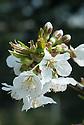 Blossom of sweet cherry 'Bradbourne Black', late April.
