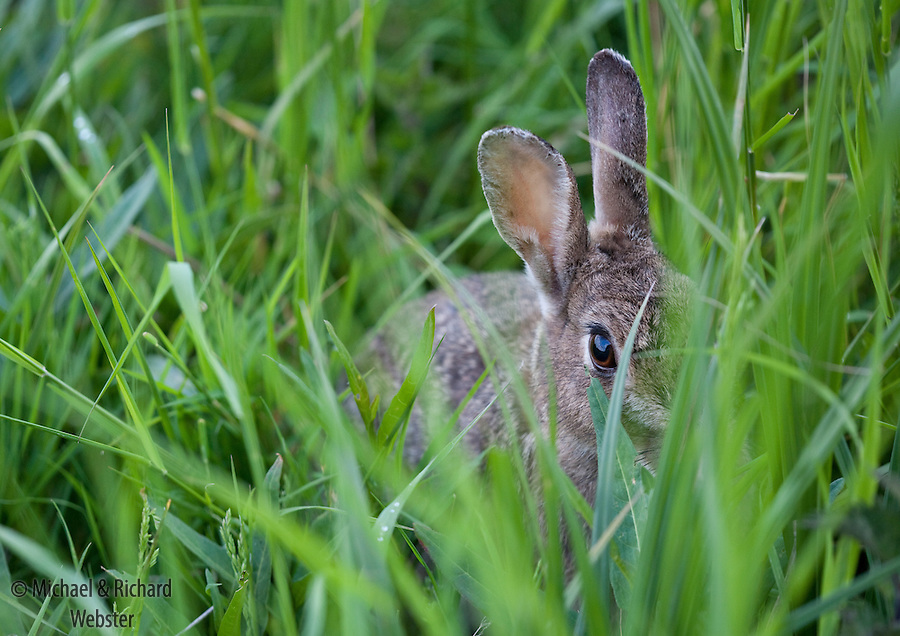 A rabbit hides in the grass
