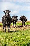 20140124 Glen Cattle