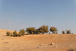 Jericho Balsam trees (Balanites Aegyptiaca) in the Jordan Valley<br />