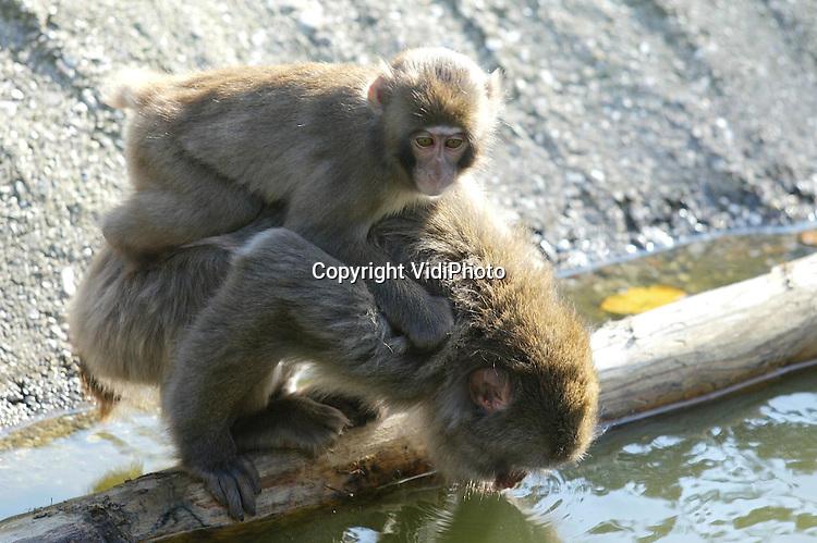 Foto: VidiPhoto..AMERSFOORT - Dierenpark Amersfoort heeft elf zeldzame makaken in bezit gekregen. De sterk bedreigd Japanse apensoort leeft in een berggebied waar de temperatuur kan dalen tot -15 graden Celsius. Er zijn slechts drie dierentuinen in Europa die makaken in hun park hebben. De deze week gearriveerde Japanse apen mochten vrijdag voor het eerst naar buiten.
