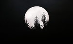 Douglas firs are silhouetted by a rising full moon, Washington.