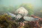 La Jolla Underwater Ecological Reserve, La Jolla Shores, La Jolla, California; a small, green sea turtle foraging for food, red algae, in shallow, dirty green water