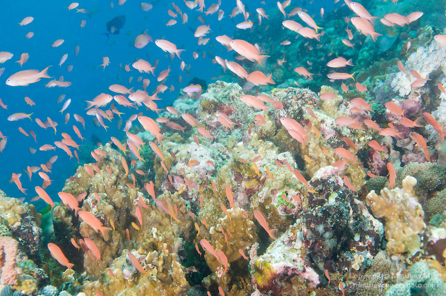 Anilao, Philippines;  a school of Scalefin Anthias (Pseudanthias squamipinnis) fish swimming over an underwater pinnacle covered in soft corals, sponges, crinoids and dark green Black Sun Coral (Tubastrea micrantha)