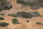 American Bison (Bison bison) bull in shrubland, Santa Catalina Island, Channel Islands, California