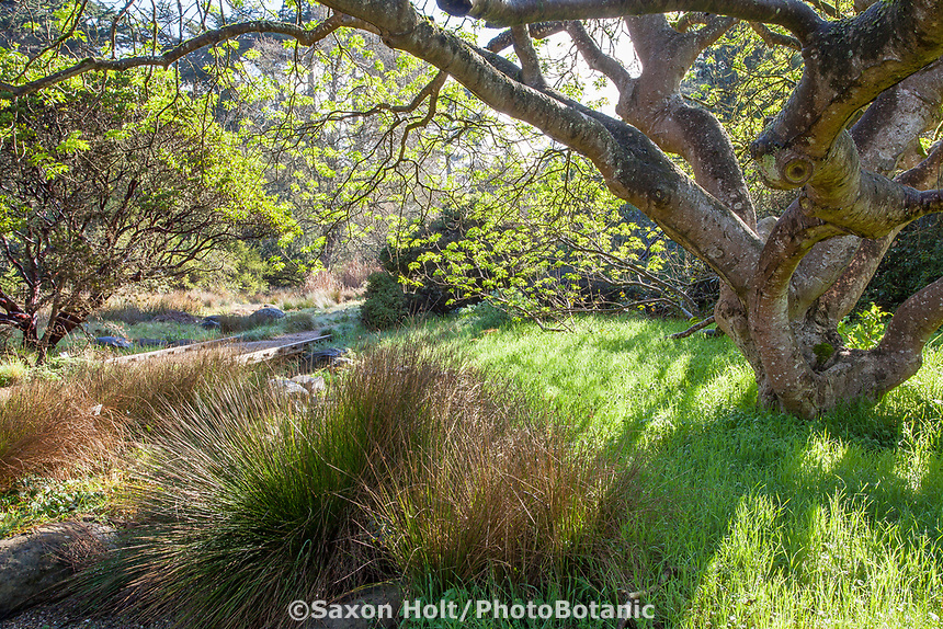 Juncus by dry creek swale under Buckeye tree in California native palnt sectio of San Francisco Botanical Garden