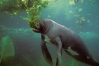 Amazonian Manatee, Trichechus inunguis ( c ), feeding on aquatic vegetation, INPA/LMA, Amazonas, Brazil