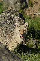 Wild Coyote (Canis latrans).  Western U.S., Summer.