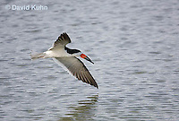 0908-0903  Black Skimmer Flying Foraging for Food (Fish), Rynchops niger © David Kuhn/Dwight Kuhn Photography