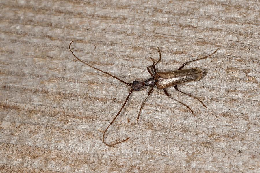 Holzbock, Bockkäfer, Männchen, Vesperus luridus, Longhorn beetle, male