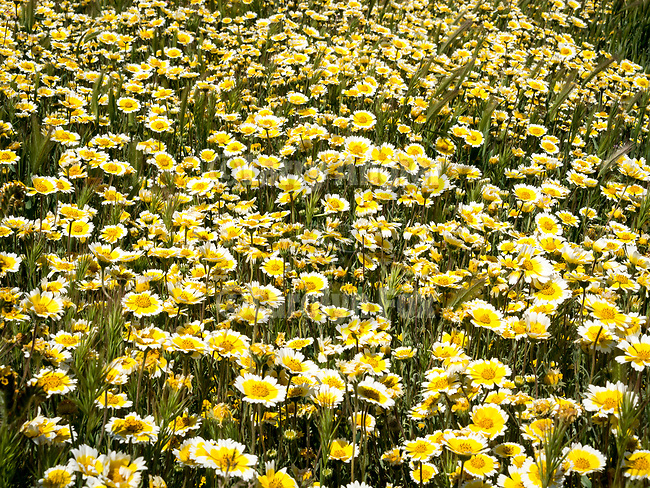 Tidy tip flowers in a carpet of colorful, spring wildflowers, including goldfield and tidy tip, Carrizo Plain, California Valley, San Luis Obispo County, Calif.