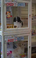 139,000yen price tagged pomeranian puppy (upper) and 89,000yen price tagged toy poodle puppy (below) in the glass cases at the Pet shop in Shibuya, Tokyo