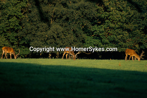 'QUANTOCK STAG HOUNDS', QUANTOCK, SOUTH SOMERSET. STAGS GRAZE ON FARMLAND, 1997