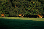 Quantock Hill Somerset, stags deer grazing on farmland eating grass 1997  1990s UK