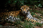 Jaguar (Panthera onca) - captive, spotted fur, sitting in jungle, resting, Central America