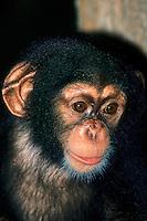 Chimpanzee young, Pan troglodytes
