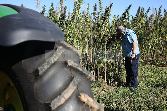 "Terry Sutton, a farmer from Frankfort, smells the hemp plant at the University of Kentucky hemp harvest at Spindletop Research Farm in Lexington, Ky., on Tuesday, September 23, 2014.  ""Smells good,"" Sutton said. Photo by Tessa Lighty 