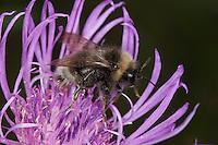 Schmarotzerhummel, Kuckuckshummel, Schmarotzer-Hummel, Kuckucks-Hummel, Blütenbesuch, Nektarsuche, Bestäubung, Psithyrus spec., cuckoo bee, Schmarotzerhummeln, cuckoo bees