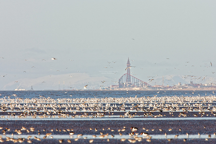 Herring Gulls, (Larus argentatus) Oystercatchers (Haematopus ostralegus) and the odd Carrion Crow take advantage of the bounty available on a super low Spring tide in Winter, against the backdrop of the Blackpool Tower and the Pleasure Beach, wiht the mountains of the lake Dristrict and Cumbria beyond as viewed from Formby, along the Sefton Coast. The Heysham Nuclear Power station sits to the far left, across in Morcombe Bay.