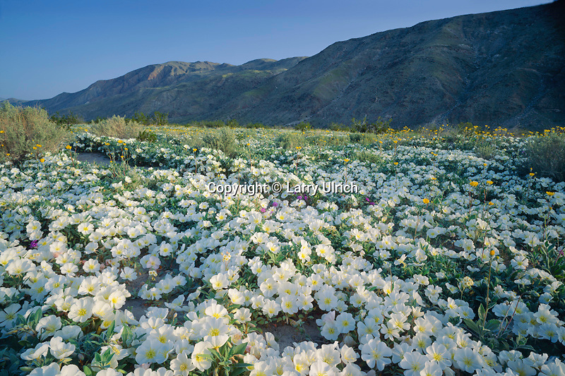 Dune evening primrose in Borrego Valley<br />
