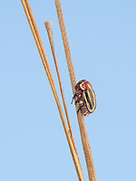 A Scriptured Leaf Beetle (Pachybrachis sp.) perches on a plant stem.
